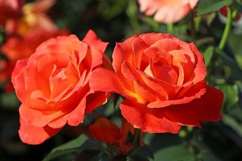 Beetrose 'Fellowship' ® - Rosa 'Fellowship' ®