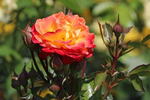 Beetrose 'Firebird' ® - Rosa 'Firebird' ®