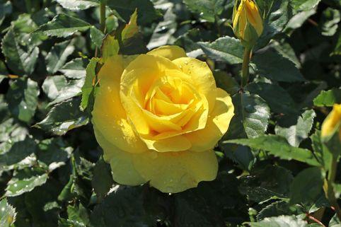 Beetrose 'Friesia' ® - Rosa 'Friesia' ®