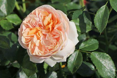 Beetrose 'Garden of Roses' ® - Rosa 'Garden of Roses' ® ADR-Rose