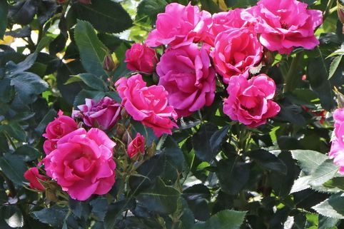 Beetrose 'Gartenfreund' ® - Rosa 'Gartenfreund' ®