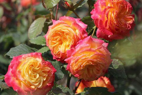 Beetrose 'Gartenspaß' ® - Rosa 'Gartenspaß' ®