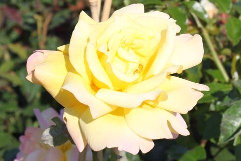Beetrose 'Geisha' ® - Rosa 'Geisha' ®