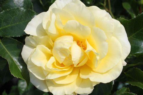 Beetrose 'Gelber Engel' ® - Rosa 'Gelber Engel' ® ADR-Rose