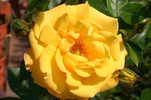 Beetrose 'Goldmarie 82' ® - Rosa 'Goldmarie 82' ®
