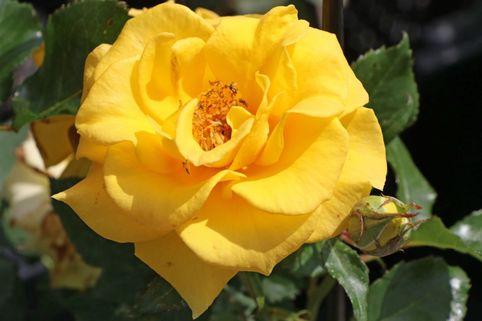 Beetrose 'Goldquelle' ® - Rosa 'Goldquelle' ®