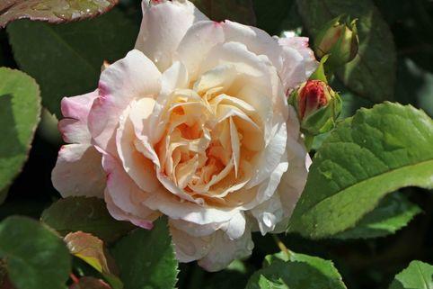 Beetrose 'Gruß an Aachen' - Rosa 'Gruß an Aachen'