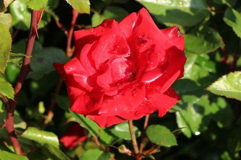 Beetrose 'Gruß an Bayern' ® - Rosa 'Gruß an Bayern' ®