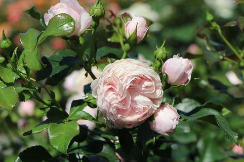 Beetrose 'Hans Gönewein Rose' - Rosa 'Hans Gönewein Rose'