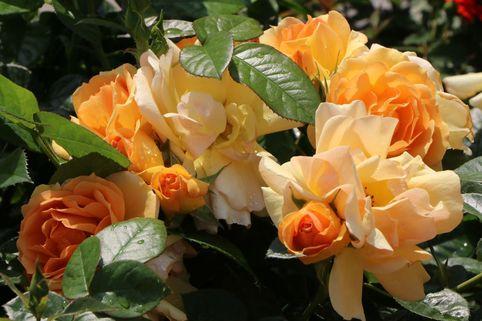 Beetrose 'Hansestadt Rostock' ® - Rosa 'Hansestadt Rostock' ®