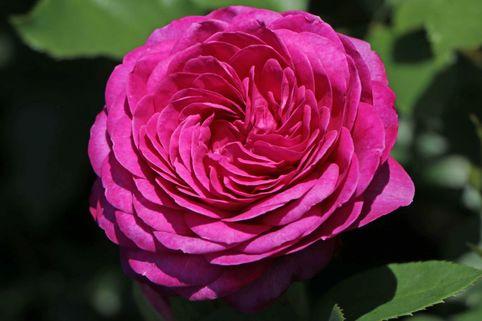 Beetrose 'Heidi Klum-Rose' ® - Rosa 'Heidi Klum Rose' ®