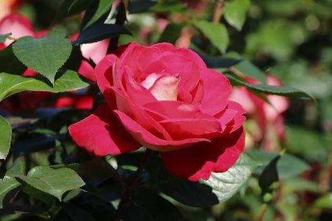 Beetrose 'Heimatmelodie' ® - Rosa 'Heimatmelodie' ®