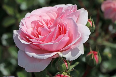 Beetrose 'Home & Garden' ® - Rosa 'Home & Garden' ®
