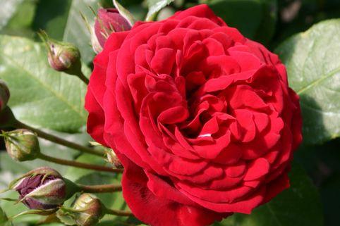 Beetrose 'Insel Mainau' ® - Rosa 'Insel Mainau' ®
