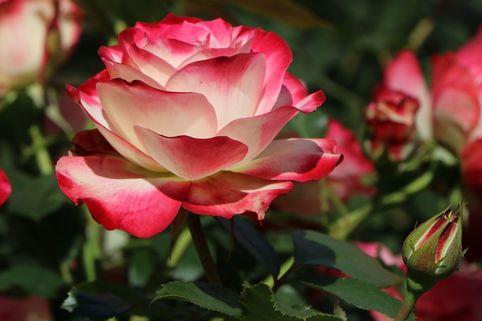 Beetrose 'Jubilee du Prince de Monaco' ® - Rosa 'Jubilee du Prince de Monaco' ®