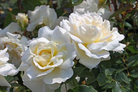 Beetrose 'KOSMOS' ® / Brindisi - Rosa 'KOSMOS' ® / Brindisi ADR-Rose