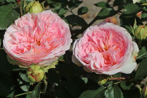 Beetrose 'Kurfürstin Sophie' ® - Rosa 'Kurfürstin Sophie' ®