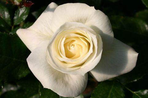 Beetrose 'La Paloma 85' ® - Rosa 'La Paloma 85' ®