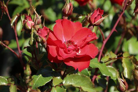 Beetrose 'La Sevillana' ® - Rosa 'La Sevillana' ®