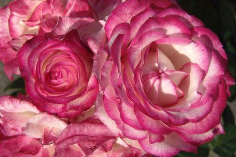 Beetrose 'Laminuette' - Rosa 'Laminuette'