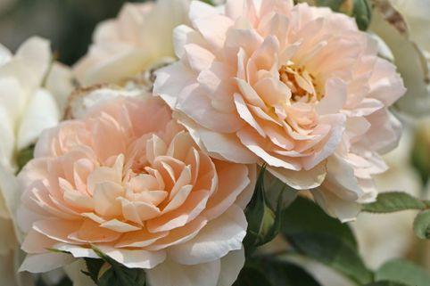 Beetrose 'Lions-Rose'  ®        ADR-Rose - Rosa 'Lions-Rose' ®  ADR-Rose