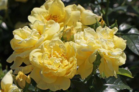Beetrose 'Loredo'  ®            ADR-Rose - Rosa 'Loredo' ®  ADR-Rose