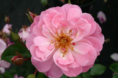 Beetrose 'Märchenland' - Rosa 'Märchenland'