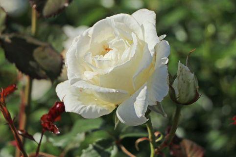 Beetrose 'Margaret Merril' ® - Rosa 'Margaret Merril' ®