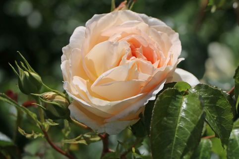 Beetrose 'Marie Antoinette' ® - Rosa 'Marie Antoinette' ®
