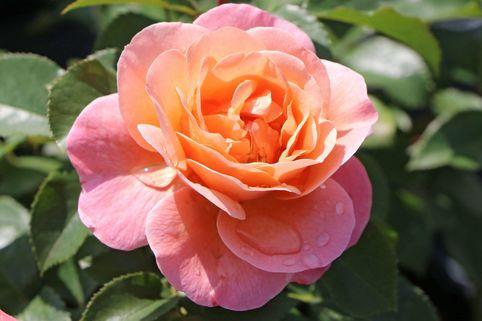Beetrose 'Marie Curie' ® - Rosa 'Marie Curie' ®