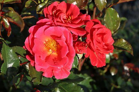Beetrose 'Melusina' ® - Rosa 'Melusina' ®