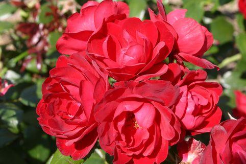 Beetrose 'Milano' - Rosa 'Milano'