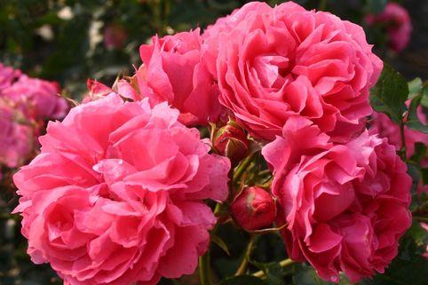 Beetrose 'Moin Moin' ® - Rosa 'Moin Moin' ®
