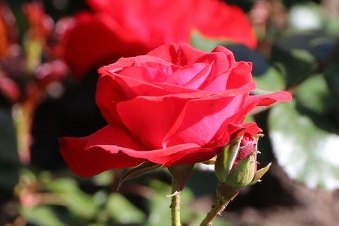 Beetrose 'Montana' ® - Rosa 'Montana' ®
