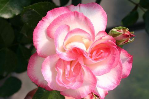 Beetrose 'Nicole' ® - Rosa 'Nicole' ®