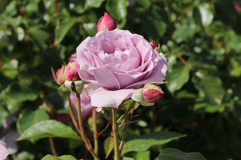 Beetrose 'Novalis' ® - Rosa 'Novalis' ® ADR-Rose