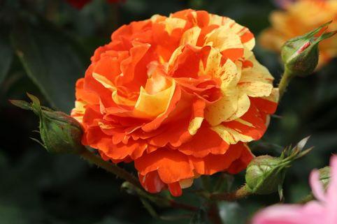 Beetrose 'Papagena' ® - Rosa 'Papagena' ®