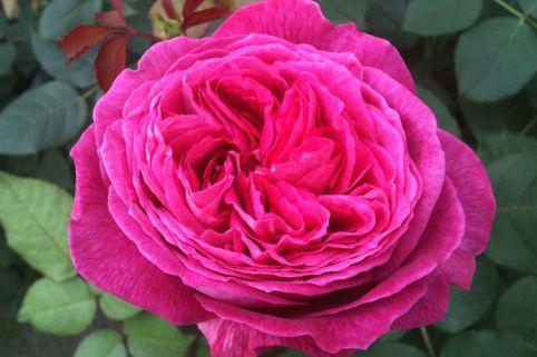 Beetrose Parfuma ® 'Freifrau Caroline' ® - Rosa Parfuma ® 'Freifrau Caroline' ® ADR-Rose