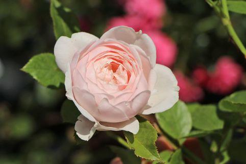 Beetrose Parfuma ® 'Herzogin Christiana' ® Kordes' Rose - Rosa Parfuma ® 'Herzogin Christiana' ® Kordes' Rose ADR-Rose