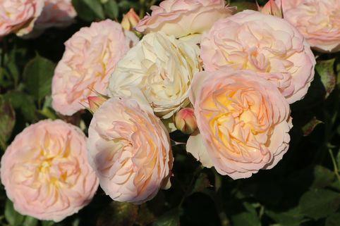 Beetrose 'Pastella' ® - Rosa 'Pastella' ®