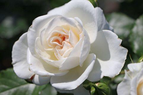 Beetrose 'Petticoat' ® - Rosa 'Petticoat' ® ADR-Rose
