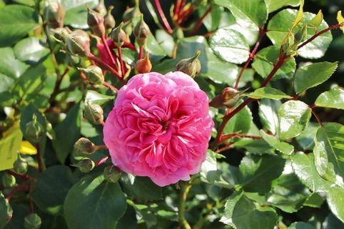 Beetrose 'Pink Swany' ® - Rosa 'Pink Swany' ®