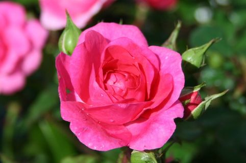 Beetrose 'Pink Traumland'  ® - Rosa 'Pink Traumland'  ®