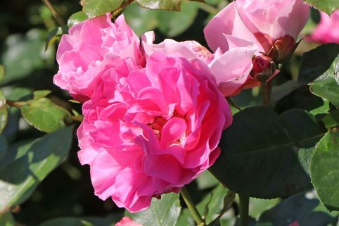 Beetrose 'Playrose' ® - Rosa 'Playrose' ®