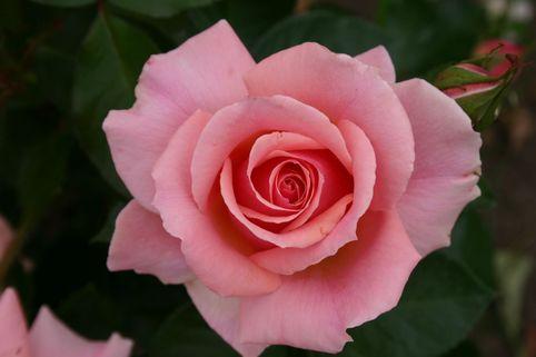 Beetrose 'Poesie' ® - Rosa 'Poesie' ®
