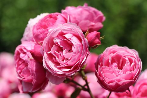 Beetrose 'Pomponella' ® - Rosa 'Pomponella' ® ADR-Rose