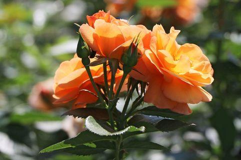 Beetrose 'Portoroz' ® - Rosa 'Portoroz' ®