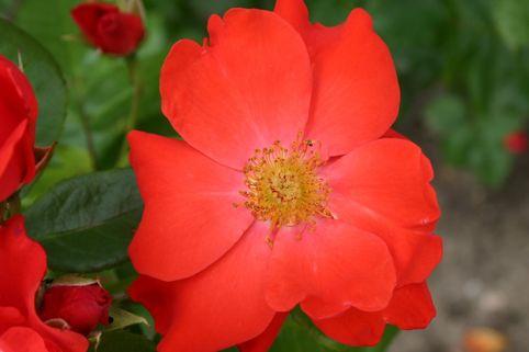 Beetrose 'Pussta' ® - Rosa 'Pussta' ®