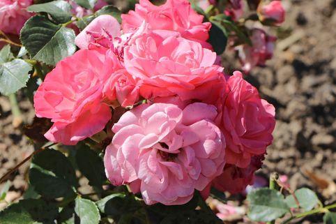 Beetrose 'Rosali' 83 ® - Rosa 'Rosali' 83 ®