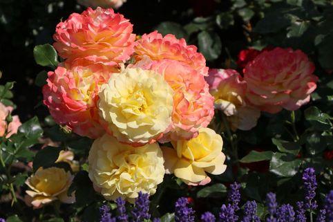 Beetrose 'Rose der Hoffnung' ® - Rosa 'Rose der Hoffnung' ®